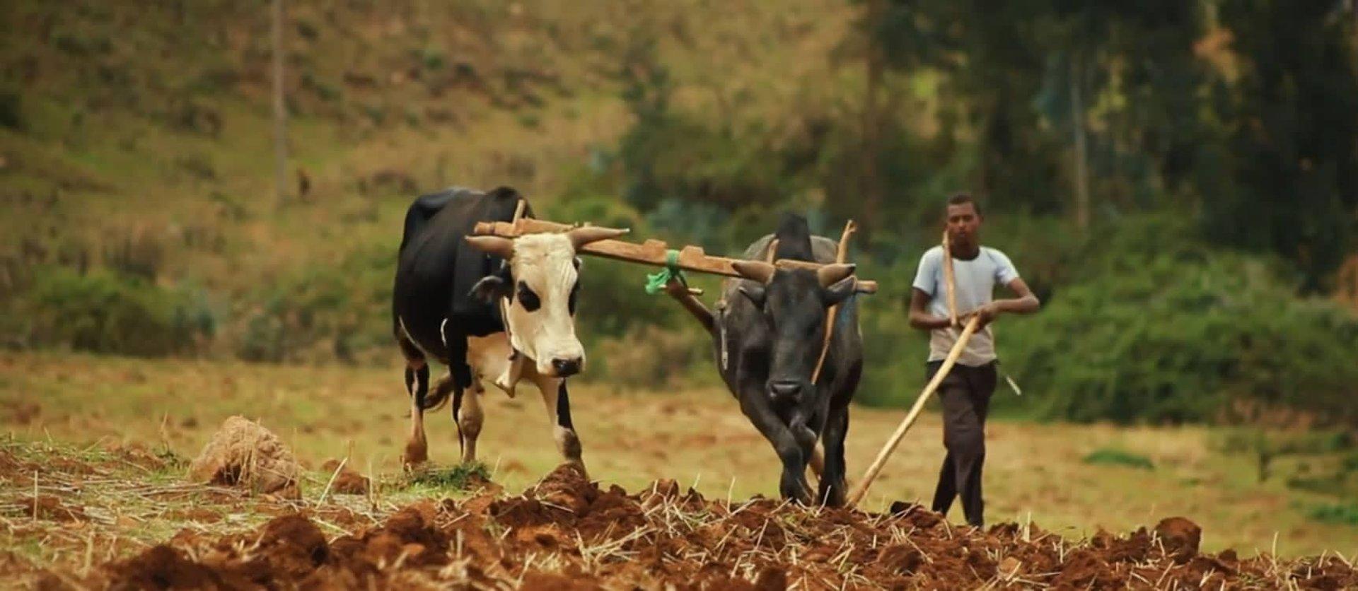 Agriculteur africain qui laboure son champ avec des bovins pour lutter contre la famine et la faim
